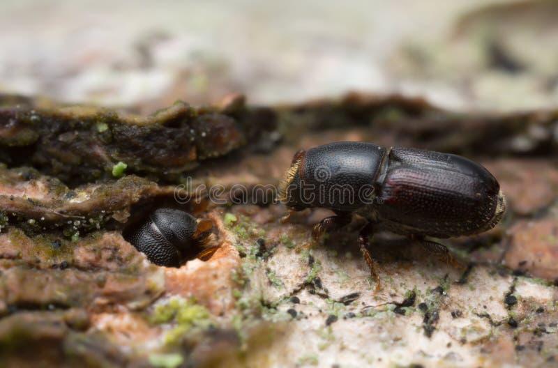 White beech bark beetles, Scolytus carpini on wood. Macro photo of white beech bark beetles, Scolytus carpini on wood. This insect belongs to the Curculionidae royalty free stock photo