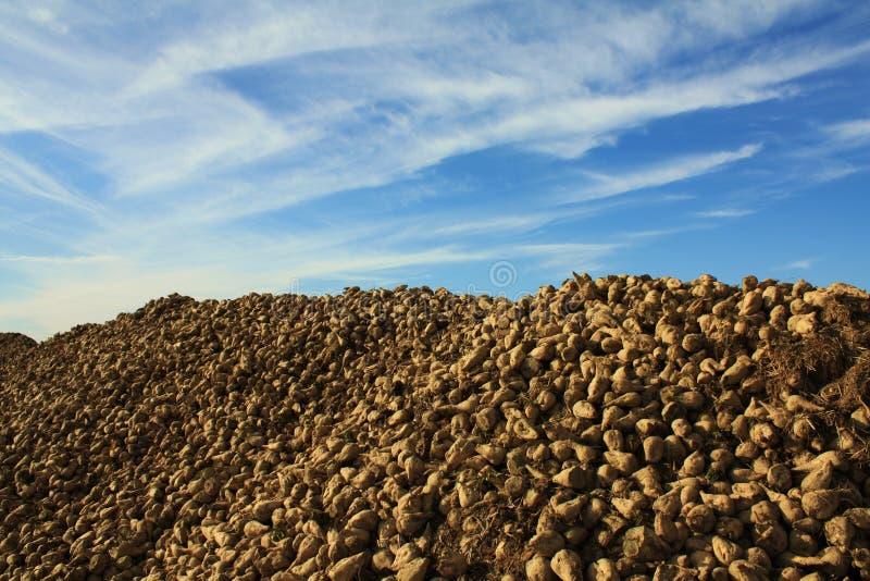 White beet royalty free stock image