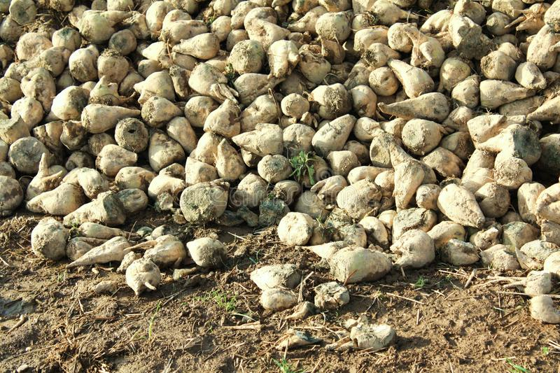 White beet autumn harvest detail. Stack of harvested sugar beet on the field. Autumn time stock photo
