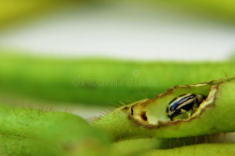 White beetle with black spot. On Mung plant stock image