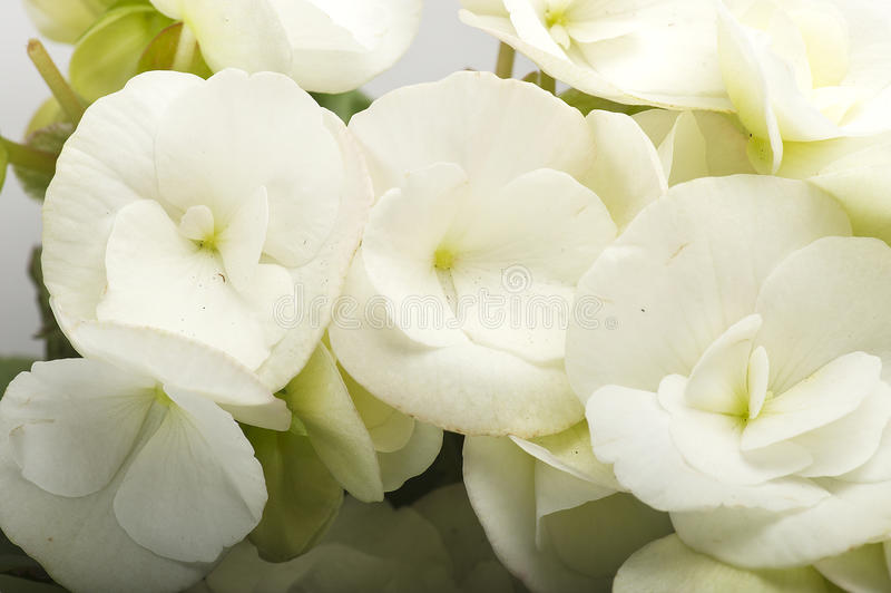 White begonia flowers stock photography