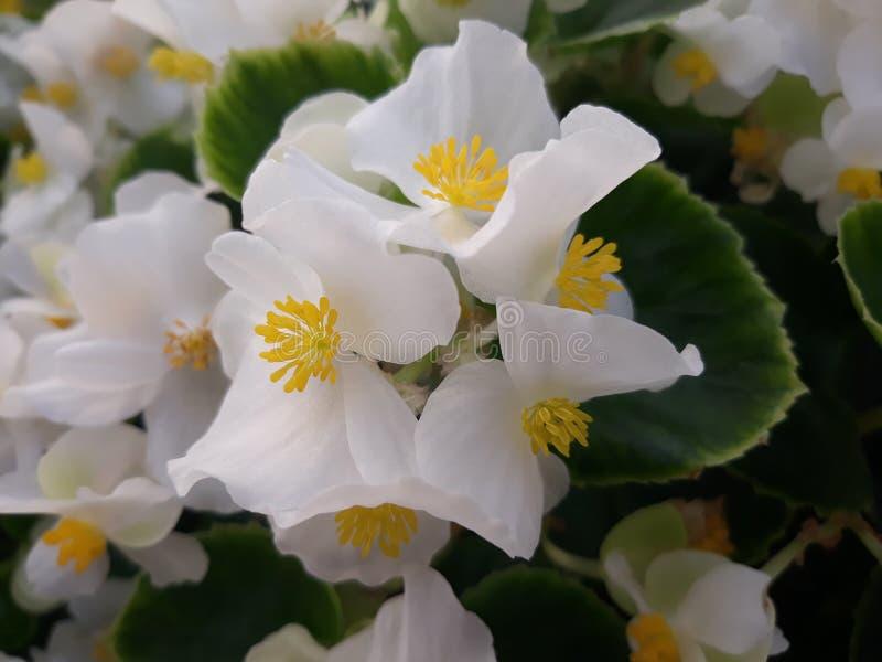 White begonia. Whiteflower begoniaflower potplant ornamentalplant garden beautiful stock photography