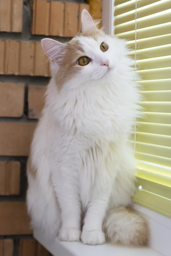 White beige cat carefully watching. Hypnotic look. Sits on the windowsill.  stock photos