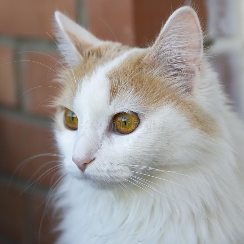 White beige cat look into the distance. Close-up. Hypnotic look.  stock photography