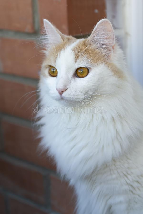 White beige cat look into the distance. Close-up. Hypnotic look.  royalty free stock images