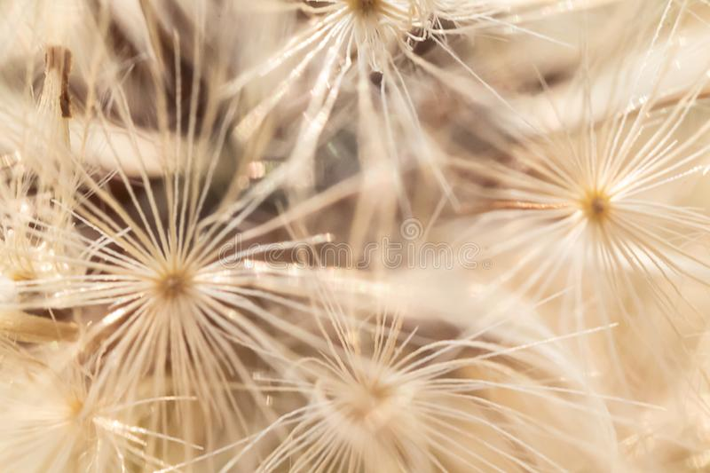 White and beige dandelion seed pattern stock photo