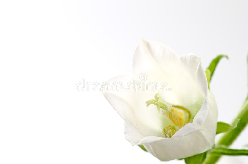 Download White bell flower stock photo. Image of blossom, life - 24765494