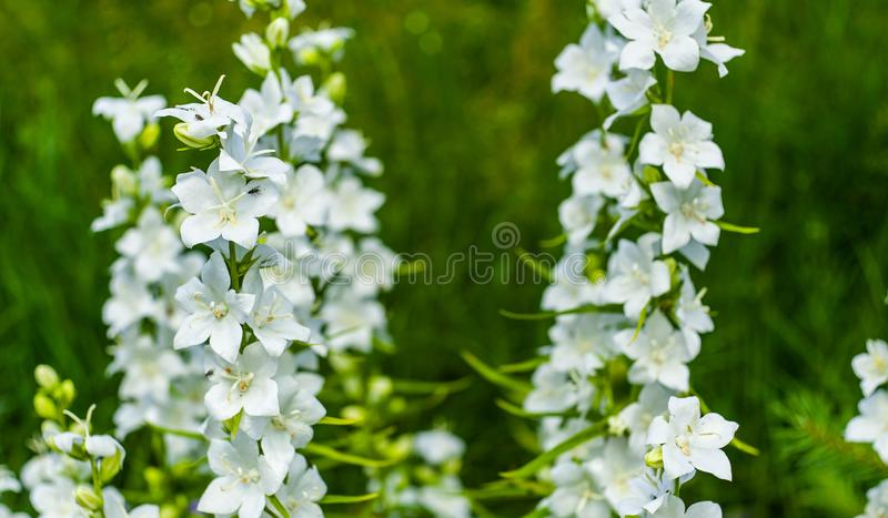 White bell flowers (Campanula persicifolia) close-up, growing in garden on blurred green background. Gentle and cheerful royalty free stock image