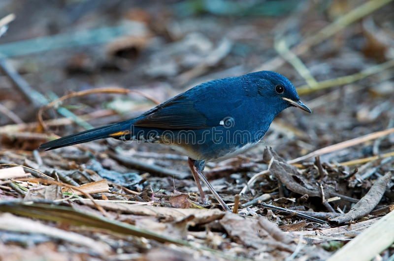 Download White Bellied Redstart  Male Stock Photos - Image: 28581663