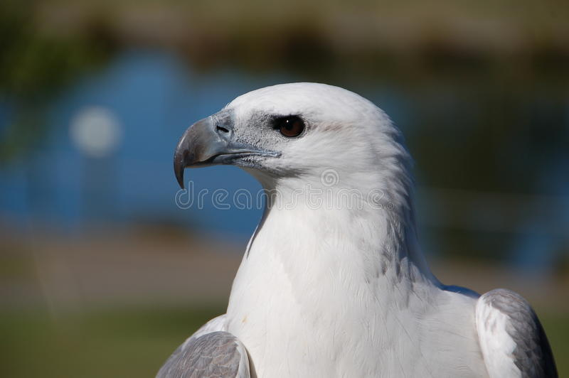 White bellied sea eagle. Intense profile of a white-bellied sea-eagle (haliaeetus leucogaster); this eagle is an expert fisher and lives along coasts and on stock photo