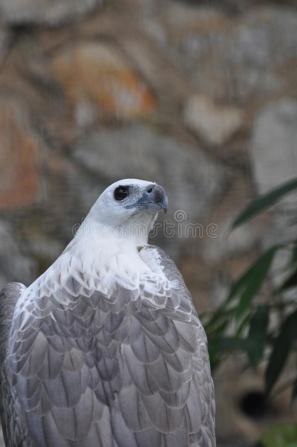 Download White-bellied sea-eagle stock image. Image of american - 14205965