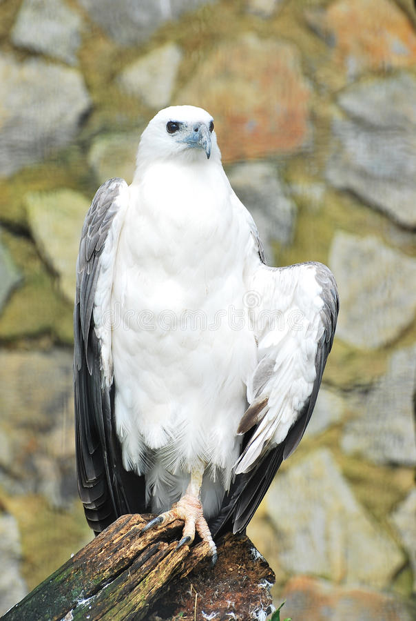 Download White-bellied Sea Eagle stock photo. Image of feathers - 14296480