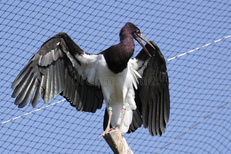White-bellied stork