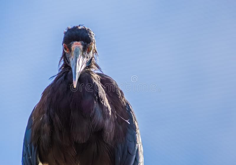 White bellied stork winking its eye, scary looking bird, tropical animal specie from Africa royalty free stock images