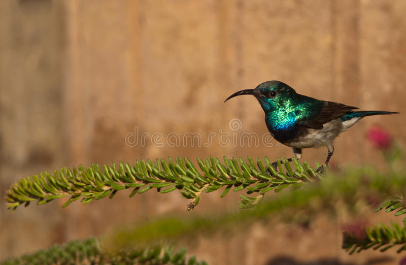 White-bellied Sunbird On A Leafy Branch Royalty Free Stock Photography