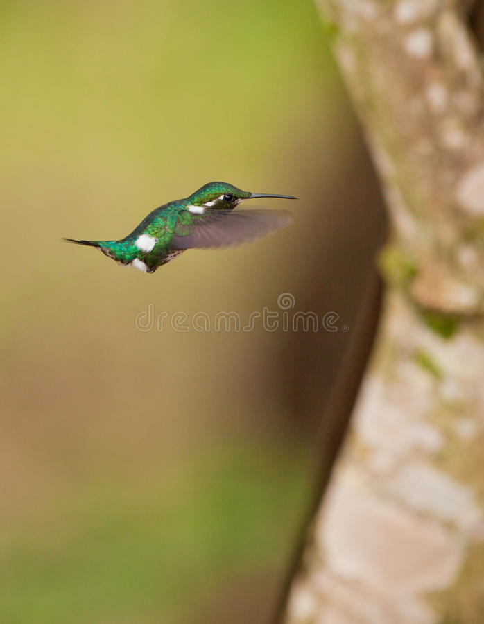 White-bellied Woodstar stock photo