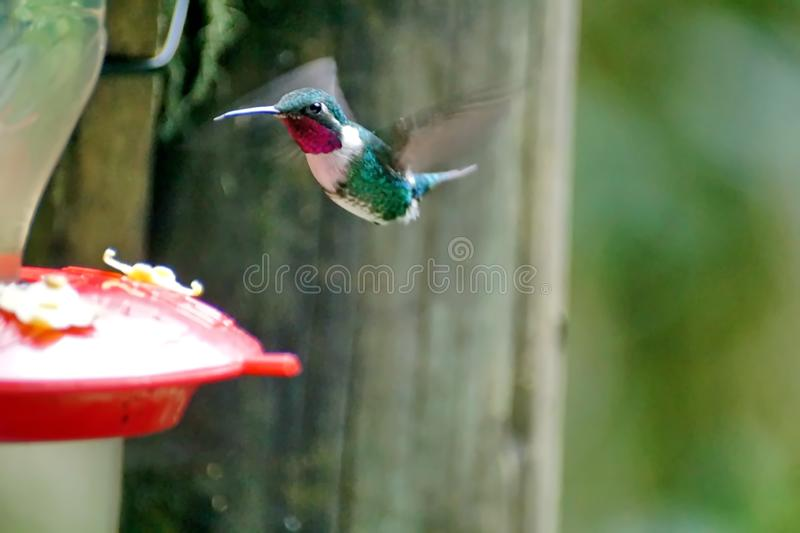 White-bellied woodstar hummingbird stock images