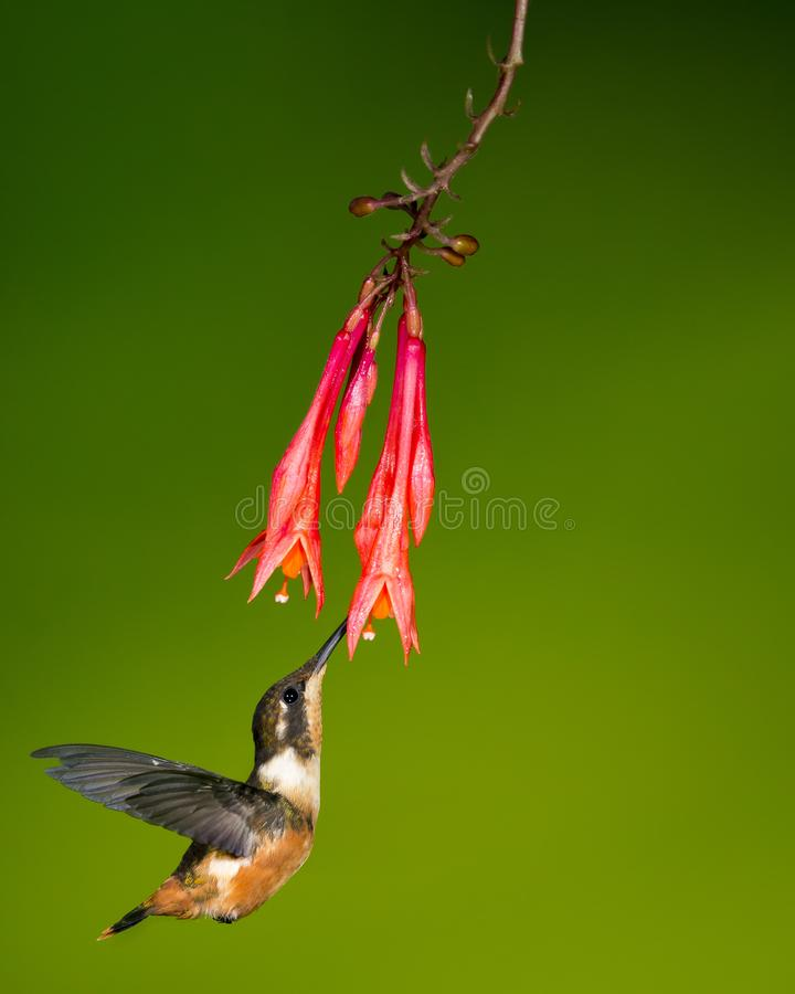 White-bellied woodstar sipping nectar royalty free stock image