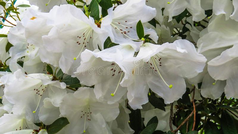 White Bells Flowers Of Rhododendron Stock Photo - Image of spring ...