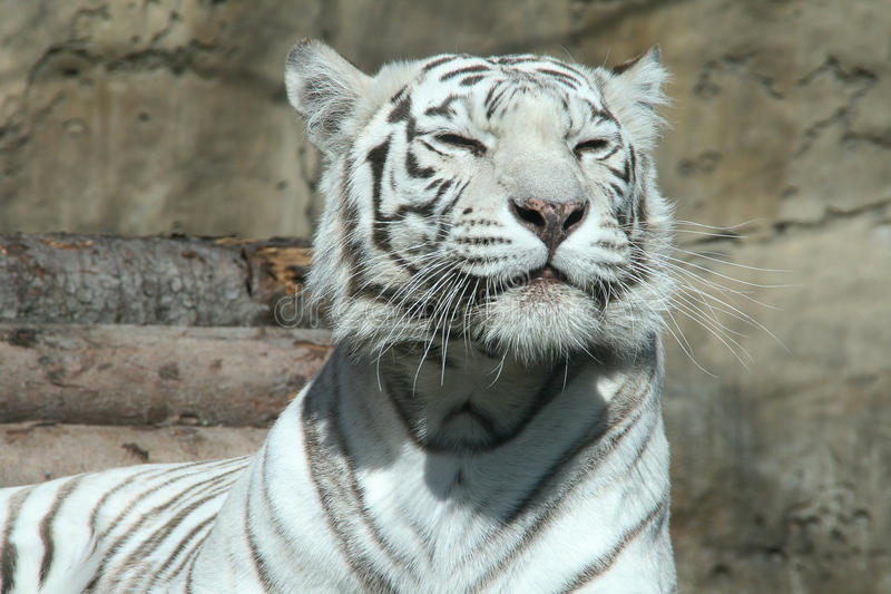 White bengal tiger stock photography