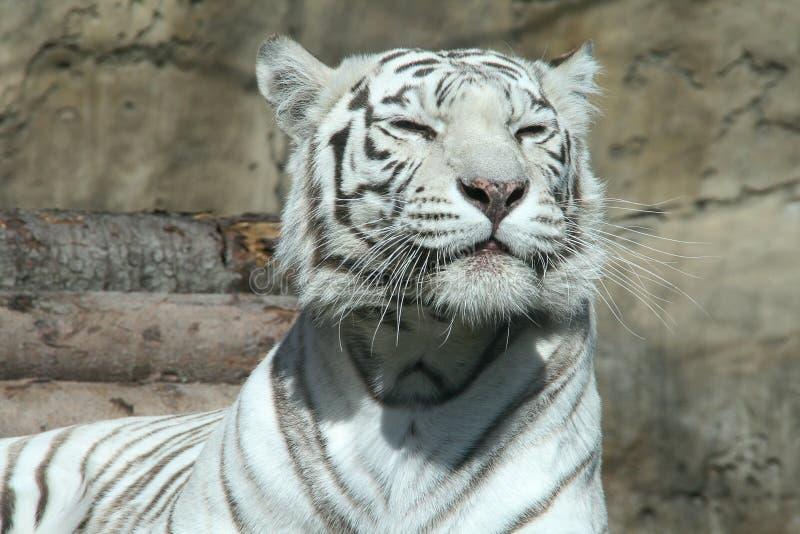 Download White bengal tiger stock photo. Image of symbol, mammal - 10676382