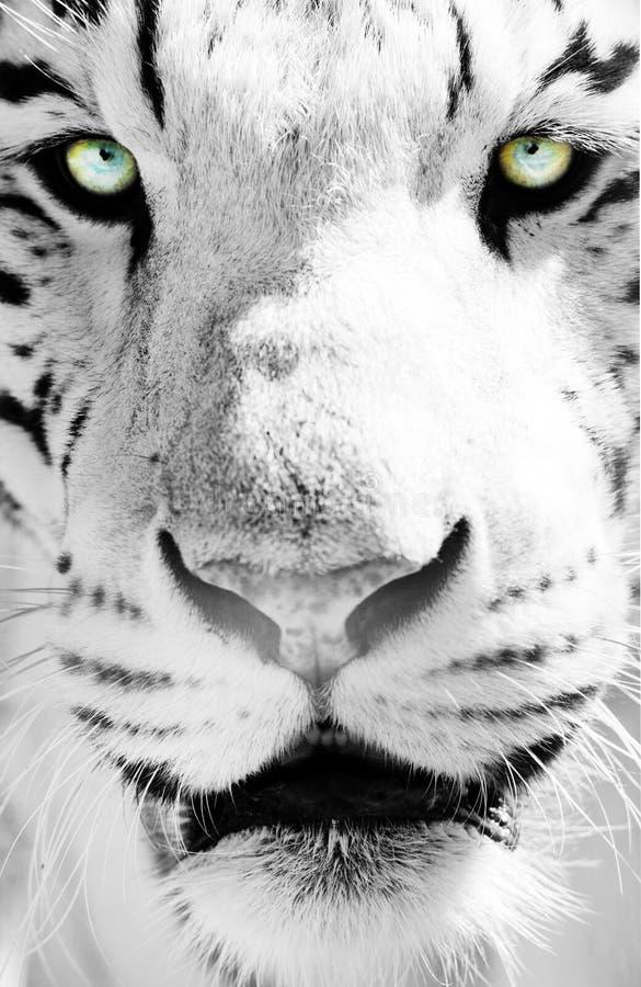 White Bengal tiger. Aggression angry animal background beauty big black carnivore cat close danger face feline fur head mammal nature portrait predator roar royalty free stock photos