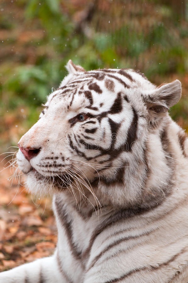 Download White Bengal Tiger stock photo. Image of bengal, nose - 16657854