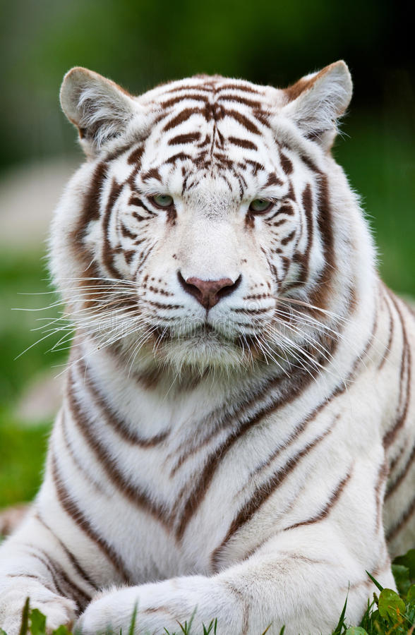 Free White Bengal Tiger Stock Images - 28128954