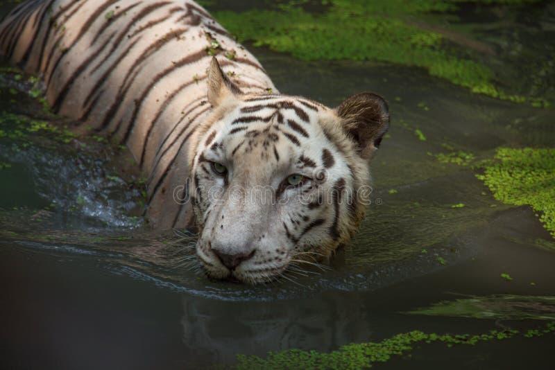 White Bengal Tiger half submerged in swamp water at Sunderban National Park. White Bengal Tiger half submerged in marshy water at Sunderban National Park. Shot stock photography