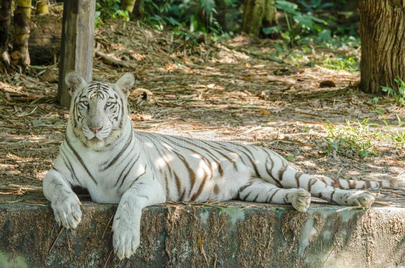 White Bengal Tiger Panthera Tigris Tigris stock photography