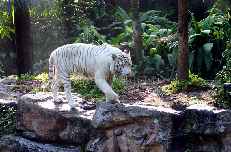 White Bengal Tiger on the prowl. A majestic white tiger on the prowl - Taken at the national Singapore Zoo, in an animal enclosure that closely mimics its stock photos
