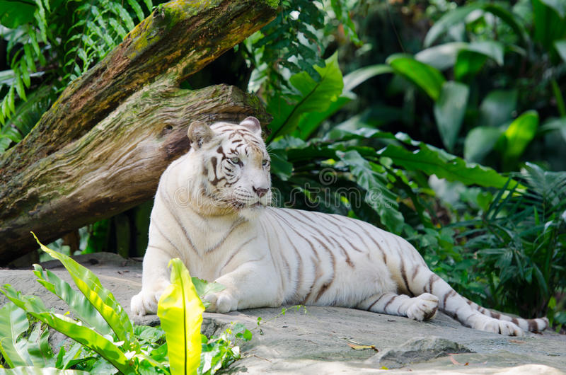 White bengal tiger resting. In the tropical forest stock image