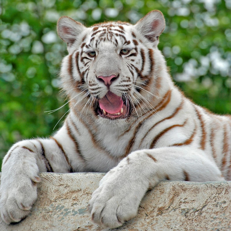 White Bengal Tiger. Resting on rock, close-up portrait royalty free stock photos