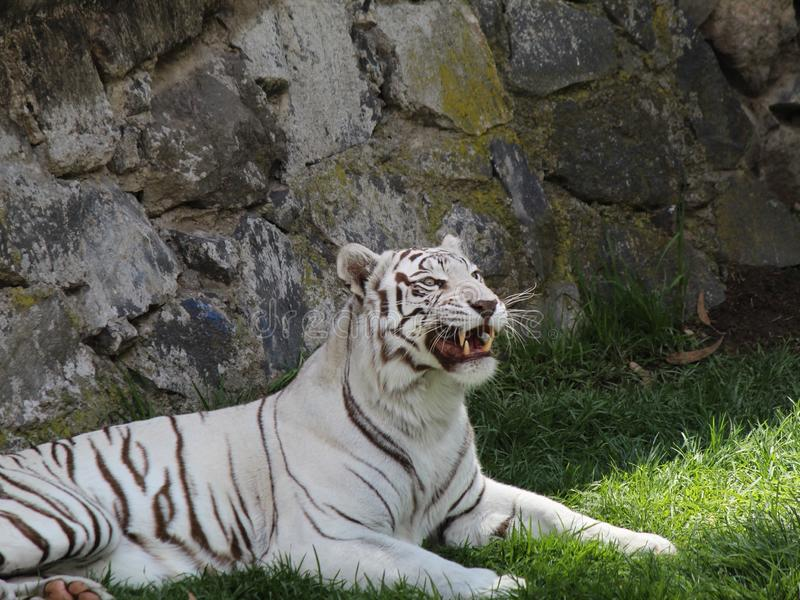 White bengal tiger resting in a zoo. Endangered, species, animal, mammal, feline, nature, environment, black, fur, big, beautiful, head, predator, cat, stripes royalty free stock photo