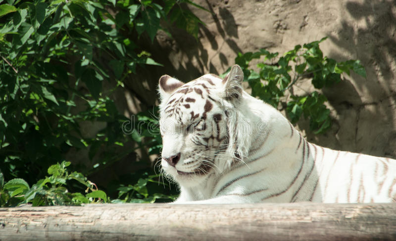 White bengal tiger sleeping stock photo