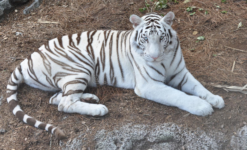 Download A White Bengal Tiger Staring Stock Photo - Image: 14874444