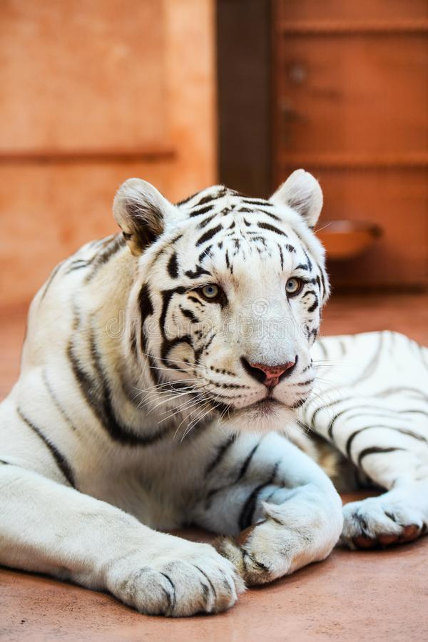 White Bengal tiger. Aggression, angry, animal, background, beauty, big, black, carnivore, cat, close, danger, face, feline, fur, head, mammal, nature, portrait royalty free stock images