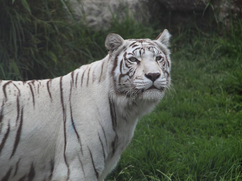 White bengal tiger in a zoo. White bengal tiger resting in a zoo. Endangered, species, animal, mammal, feline, nature, environment, black, fur, big, beautiful royalty free stock photos