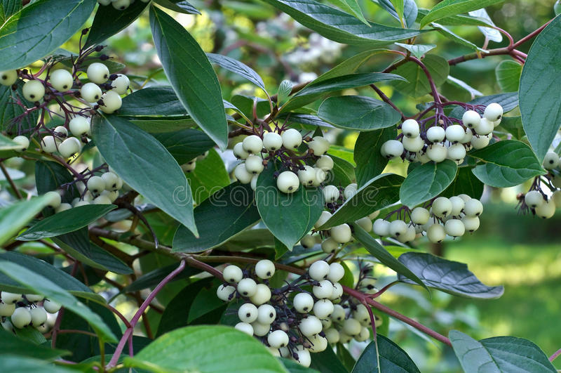 White berries of cornus alba stock photos