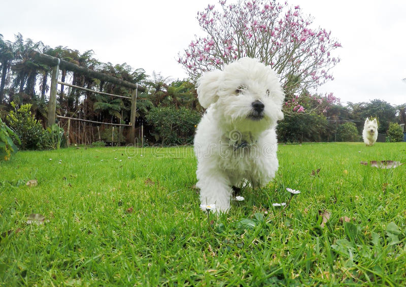 White bichon frise and west highland terrier dogs running in gar. White bichon frise and west highland terrier westie dogs running in garden in New Zealand, NZ stock photo