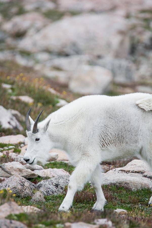 White Big Horn Sheep - Rocky Mountain Goat stock photo