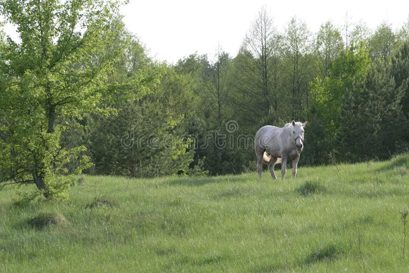 White horse grazing in a meadow near the forest in summer royalty free stock photography