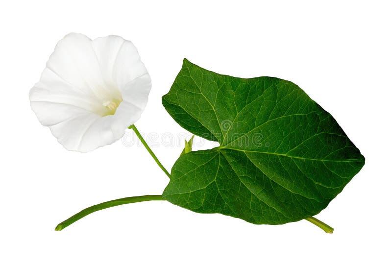 White bindweed. Convolvulus arvensis flowers stock photography