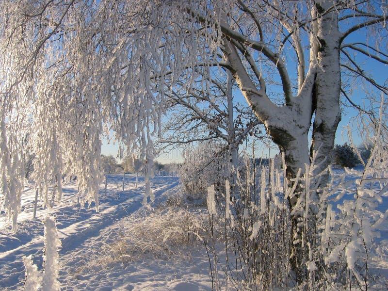 White birch stock image
