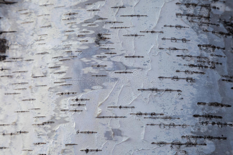 White birch bark background stock photography