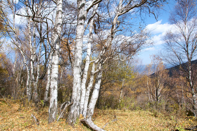 Download White birch forest stock image. Image of woods, trees - 27749779