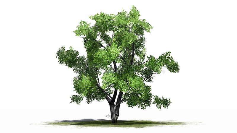 White Birch on green erea. Single White Birch on green erea with shadow on the floor separate on white background royalty free illustration