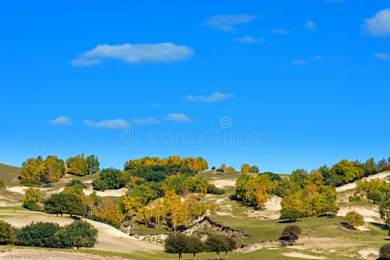White Birch on the hillside royalty free stock images