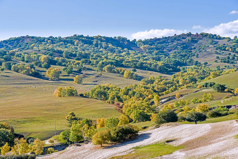 White Birch and sheep on the hillside. In the autumn .This photo was taken in Nuanhe River, Bashang Grassland, Hebei province, china stock image