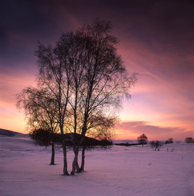 White birch in the snow field stock photography